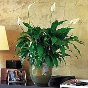 Peace_Lily_with_Ceramic_Pot