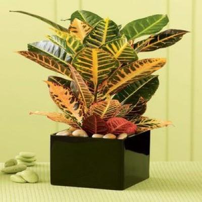 Croton_Plant